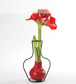 Image of blooming waxed amaryllis bulb in a wire vase