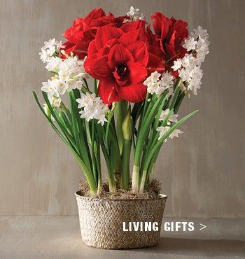 Image of Amaryllis & Paperwhites Bowl - Shop Living Gifts